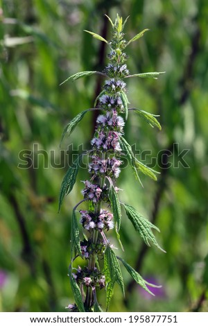 Leonura cardiaca, Motherwort - stock photo