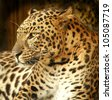 Leopard. - stock photo