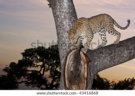 Leopard and sunset - stock photo