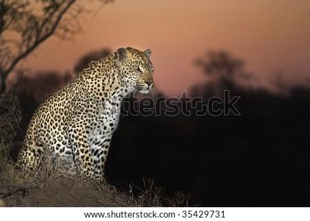 Leopard at Sunset - stock photo