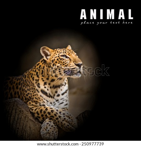 Leopard, Baby Leopard was walking toward the victim. - stock photo