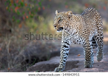 Leopard Bahati walking on the road in Masai Mara, Kenya - stock photo