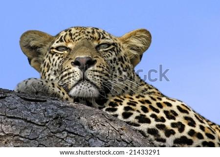 leopard blue sky - stock photo