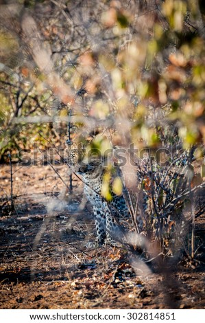 Leopard camoflaged behind a tree - stock photo