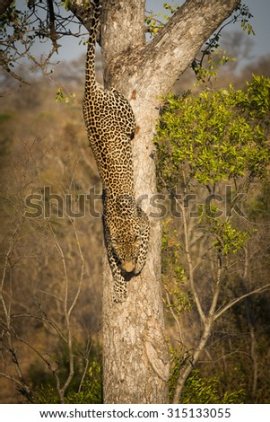 Leopard climbing down a tree in Sabi Sands Nature Reserve in greater Kruger National Park, South Africa - stock photo