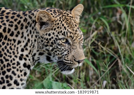 Leopard close up