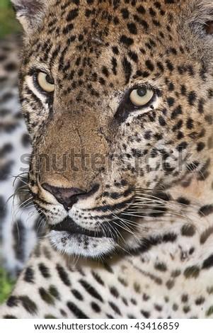 Leopard close up - stock photo