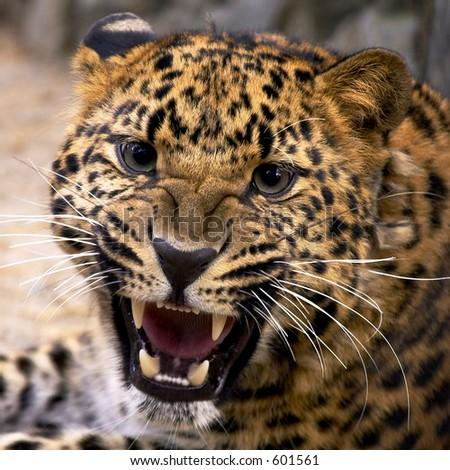 Leopard closeup - stock photo