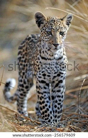 Leopard cub - stock photo