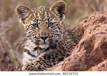 Leopard cub close up - stock photo