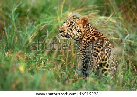 Leopard Cub in Grass - stock photo
