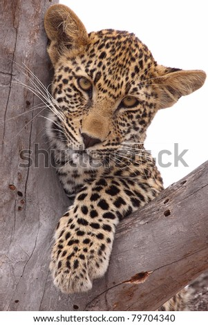 Leopard cub in tree - stock photo