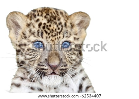 Leopard cub isolated on white background - stock photo