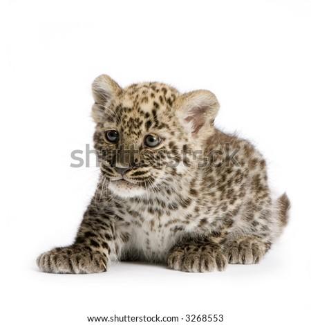 Baby white leopard - photo#13