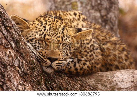 Leopard cub sleeping in tree - stock photo