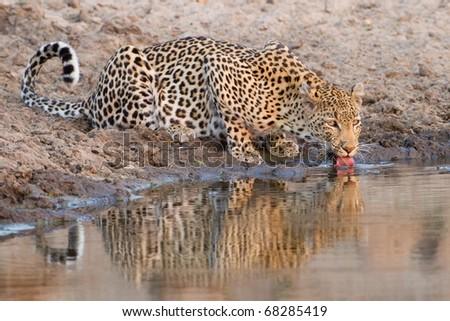 Leopard drinking at waterhole - stock photo