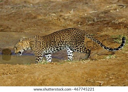 Leopard drinking from a pool of water in Yala National Park