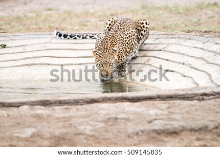 Leopard drinking water at a waterhole in the Kruger National Park, South Africa.