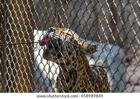 Leopard eating meat in cage at zoo