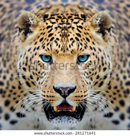 leopard face - stock photo