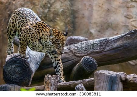 leopard face - stock photo