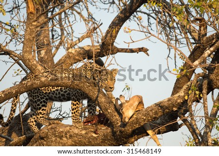 Leopard feeding on an impala in a tree in Sabi Sands Nature Reserve in greater Kruger National Park, South Africa - stock photo