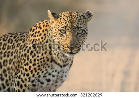 Leopard female close-up looking for danger in the soft light  - stock photo