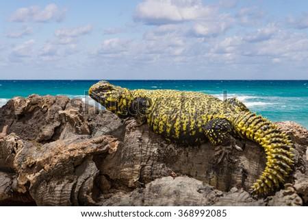 Leopard gecko (Eublepharis macularius) - stock photo