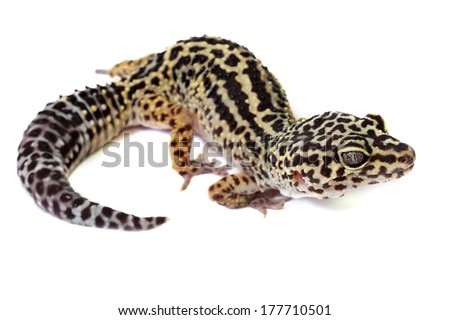 Leopard gecko - Eublepharis macularius isolated on white - stock photo