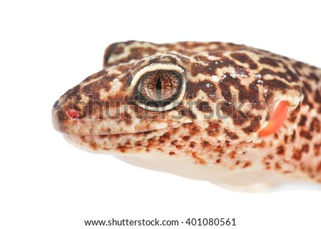 Leopard gecko Eublepharis macularius isolated on white - stock photo