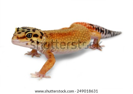 Leopard gecko Eublepharis macularius isolated on white background - stock photo