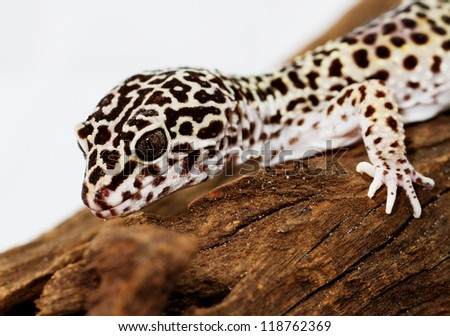 Leopard gecko, in front of white background (Eublepharis macularius)