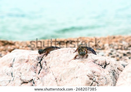 Leopard Gecko lizard on rocks closeup - stock photo