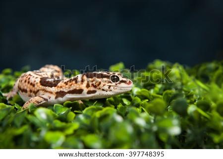 Leopard Gecko on greenery - stock photo
