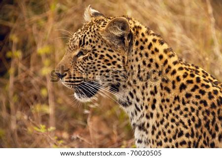 Leopard head - stock photo