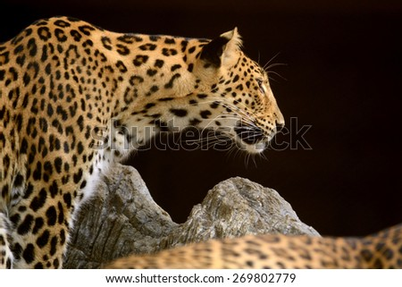 Leopard head and face looking to something