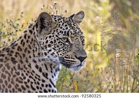 Leopard head closeup in long grass shade
