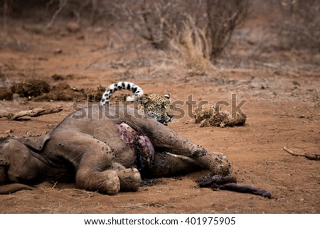 Leopard hiding behind a baby Elephant carcass in the Kruger National Park, South Africa. - stock photo