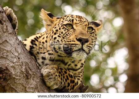 Leopard high up in tree - stock photo