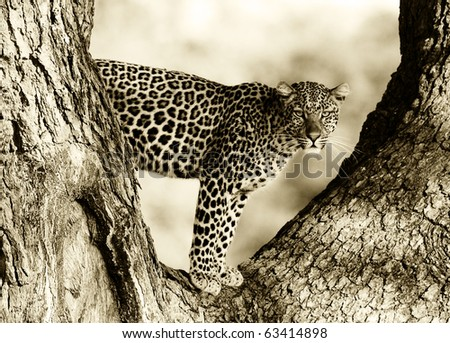 Leopard in a tree - stock photo