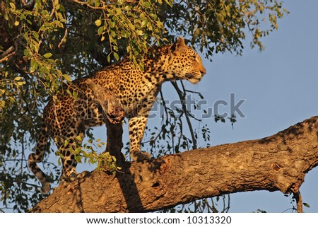Leopard in a tree in Sabi Sands, SA