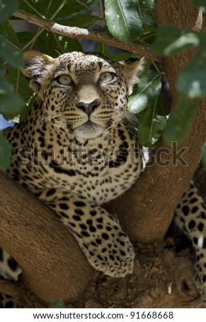Leopard in a tree in Samburu National Park in Kenya, Africa. - stock photo
