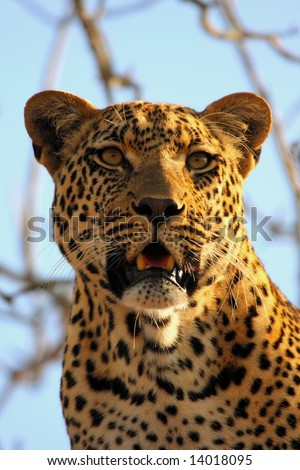 Leopard in a tree in the Sabi Sands Reserve - stock photo