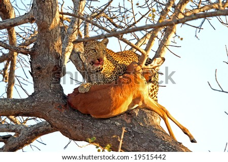 Leopard in a tree with kill in Sabi Sands Reserve - stock photo