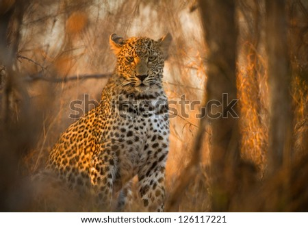 Leopard in Kruger National Park, South Africa, hiding in dense bush - stock photo