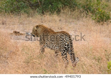 Leopard in Sabi Sand Private Reserve, South Africa