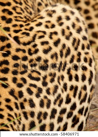 Leopard in Sabi Sand Private Reserve, South Africa - stock photo