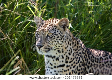 Leopard in the African bush - stock photo