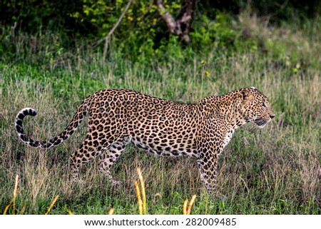 leopard in the jungle - stock photo