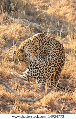 Leopard in the Sabi Sands Reserve